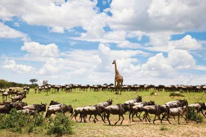 Giraffe surrounded by wildebeest