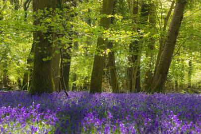 4. Bluebells in Devon, England