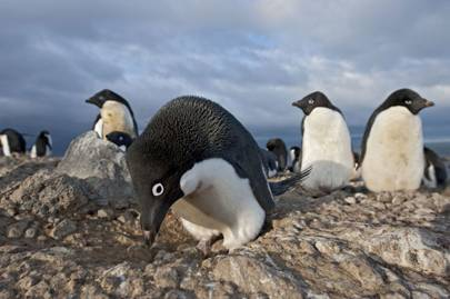 Frozen Planet photography: Adélie penguins in Antarctica