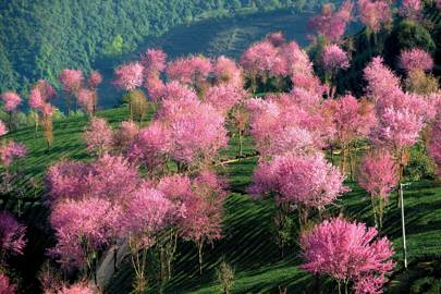 Pink trees in the Yunnan Province ofChina