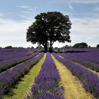 Mayfield Lavender Farm, Surrey