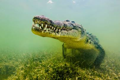 4. Saltwater crocodile