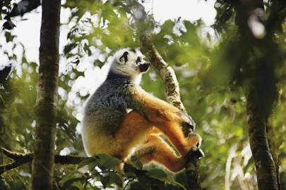 Lemurs of Madagascar