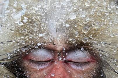 Portrait of a Japanese macaque