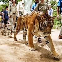 The tiger tourist trade in Malaysia