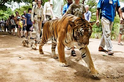 The tiger tourist trade in Malaysia
