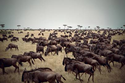 Wildebeest take part in the Great Migration
