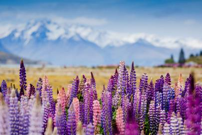 9. Lupines in New Zealand