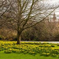 Spot the daffodils in St James's Park