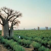 Baobab trees on a sisal plantation near Mandrare River Camp