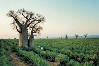 Baobab trees on a sisal plantation near Mandrare River Camp