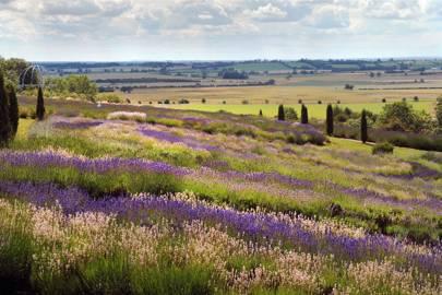 Yorkshire Lavender Farm