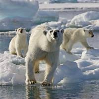 Frozen Planet photography: polar bears in Svalbard, in the Arctic