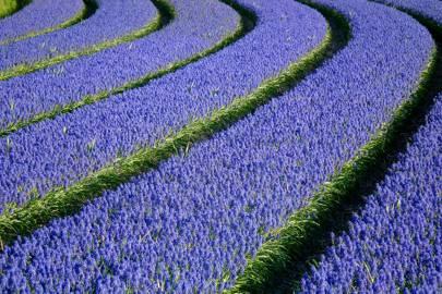 Grape Hyacinths, the Netherlands