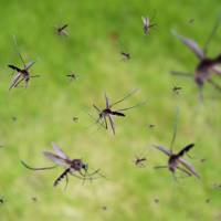 2. Mosquito