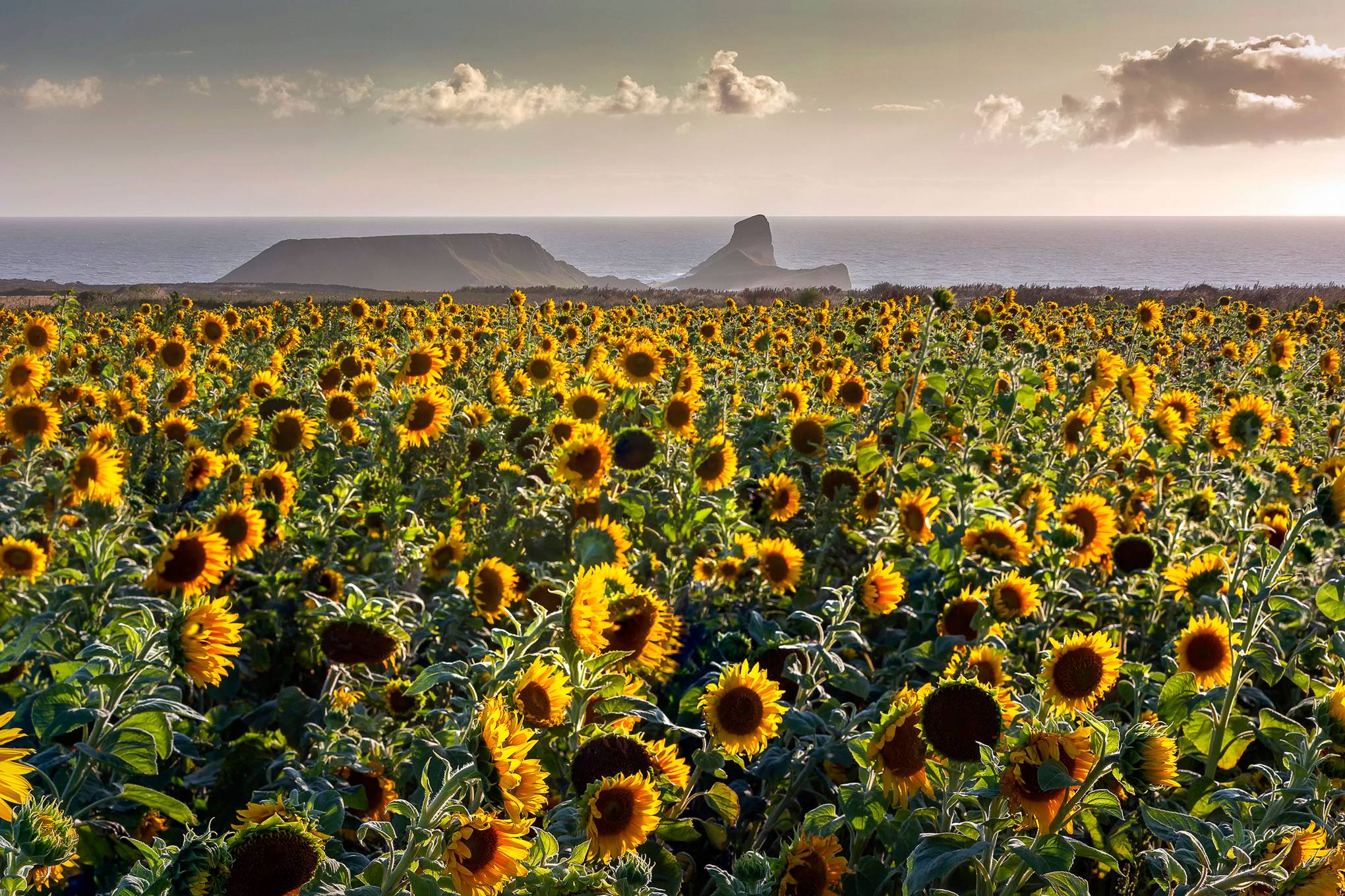 The 5 prettiest sunflower farms in the UK