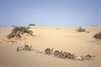 Bedouin and camels at Dakhla