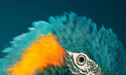Blue-throated macaw