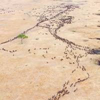 GREAT WILDEBEEST MIGRATION, TANZANIA AND KENYA