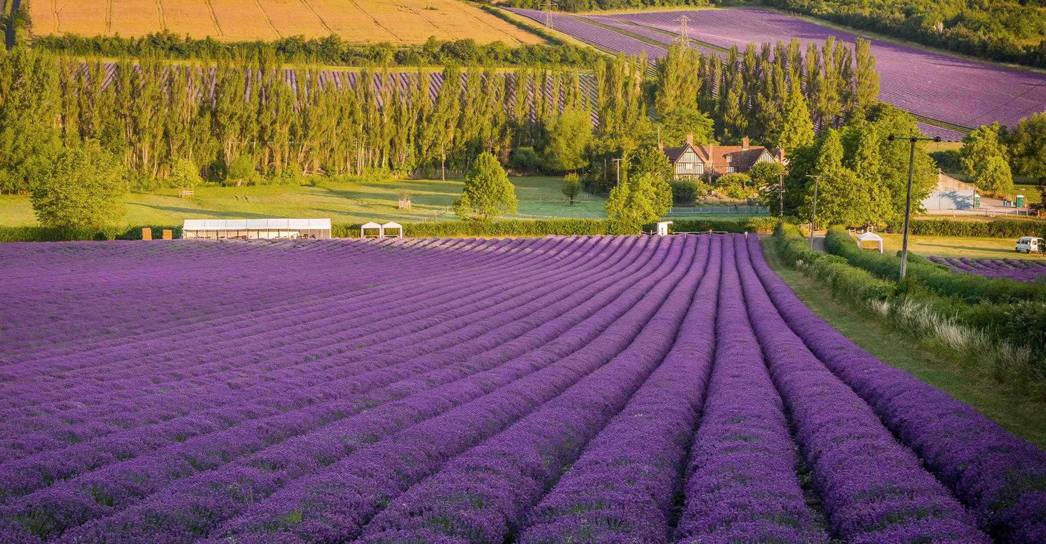 The most beautiful lavender fields in the UK
