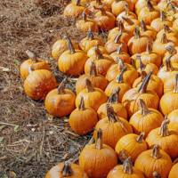Pumpkin picking in Surrey