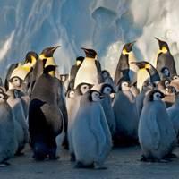 Frozen Planet photography: Emperor penguins in Antarctica