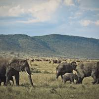 Elephants and wildebeest in Kenya's Masai Mara National Reserve