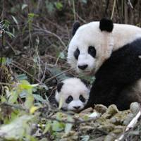 China and its pandas