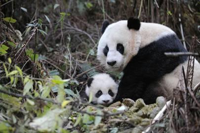 China and its pandas