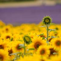 2. Hitchin Lavender, Hertfordshire
