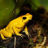 8. Golden poison dart frog