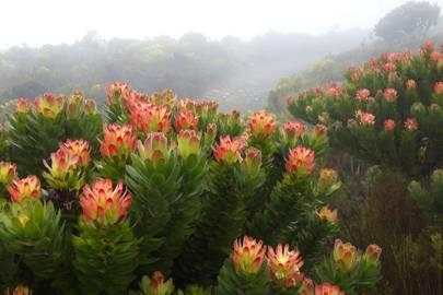 10. King Protea in South Africa