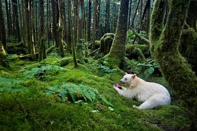 Spirit bear in the Great Bear Rainforest, Canada