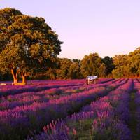 Ongoing: Frolic in lavender