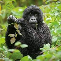Gorilla-spotting in Rwanda