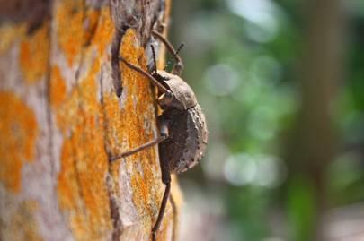 Frégate Giant Tenebrionid Beetle