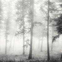 Trees in fog, by Alistair Taylor-Young