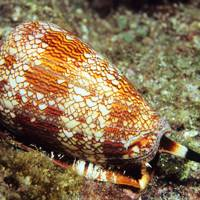 9. Cone snail