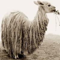 Llama, Peru, 2006