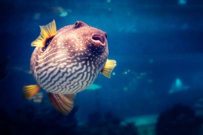 6. Pufferfish