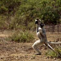 Verreaux's sifaka lemurs