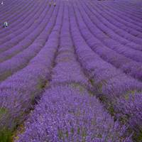Lordington Lavender, Sussex