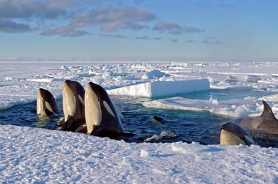 Frozen Planet photography: killer whales in Antarctica