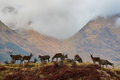 Red deer in Glen Etive, Scotland