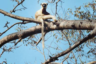 A Coquerel's sifaka lemur
