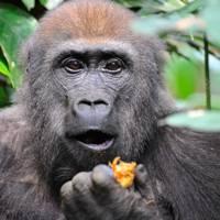 Safari season: Republic of Congo