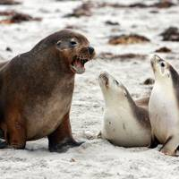 An encounter with Kangaroo Island's wildlife