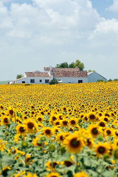 5. Sunflowers in Andalucia, Spain