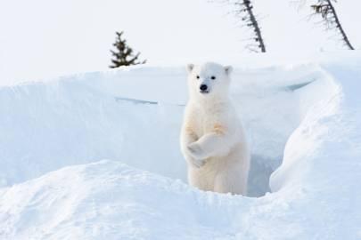5. Wapusk Polar Bears, Canada